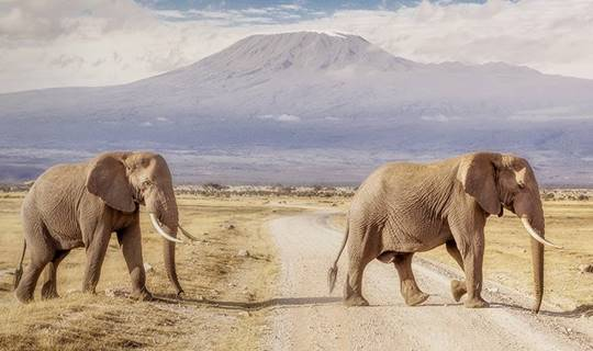 A herd of Elephant crossing a dry road