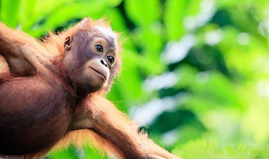 Young orangutan hanging from a tree